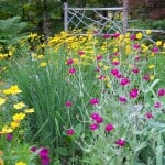 Colorful garden design with tickseed and rose campion flowers