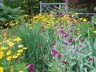 Garden design: tickseed, rose campion and siberian iris