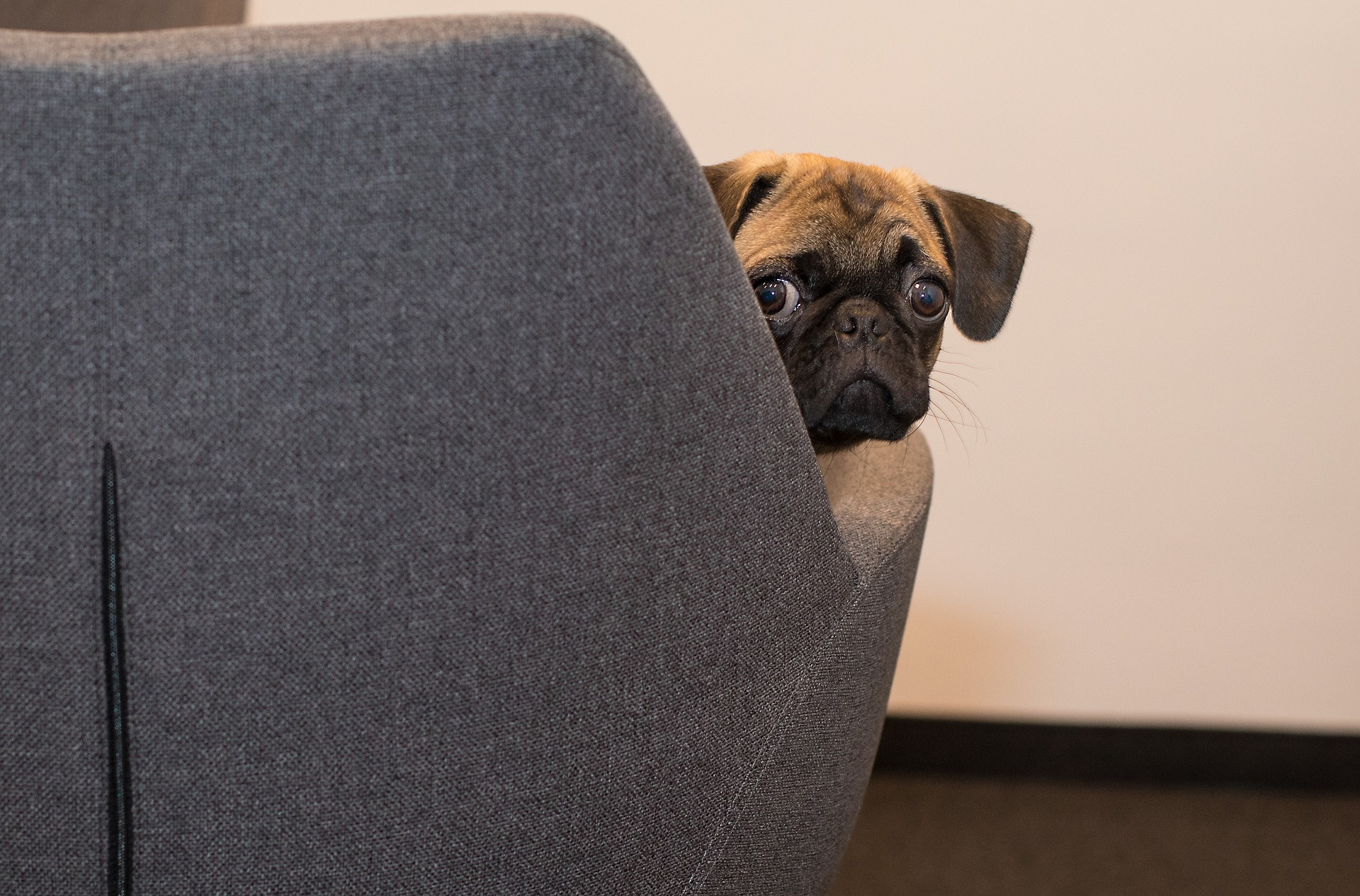 pug peeking out from a couch