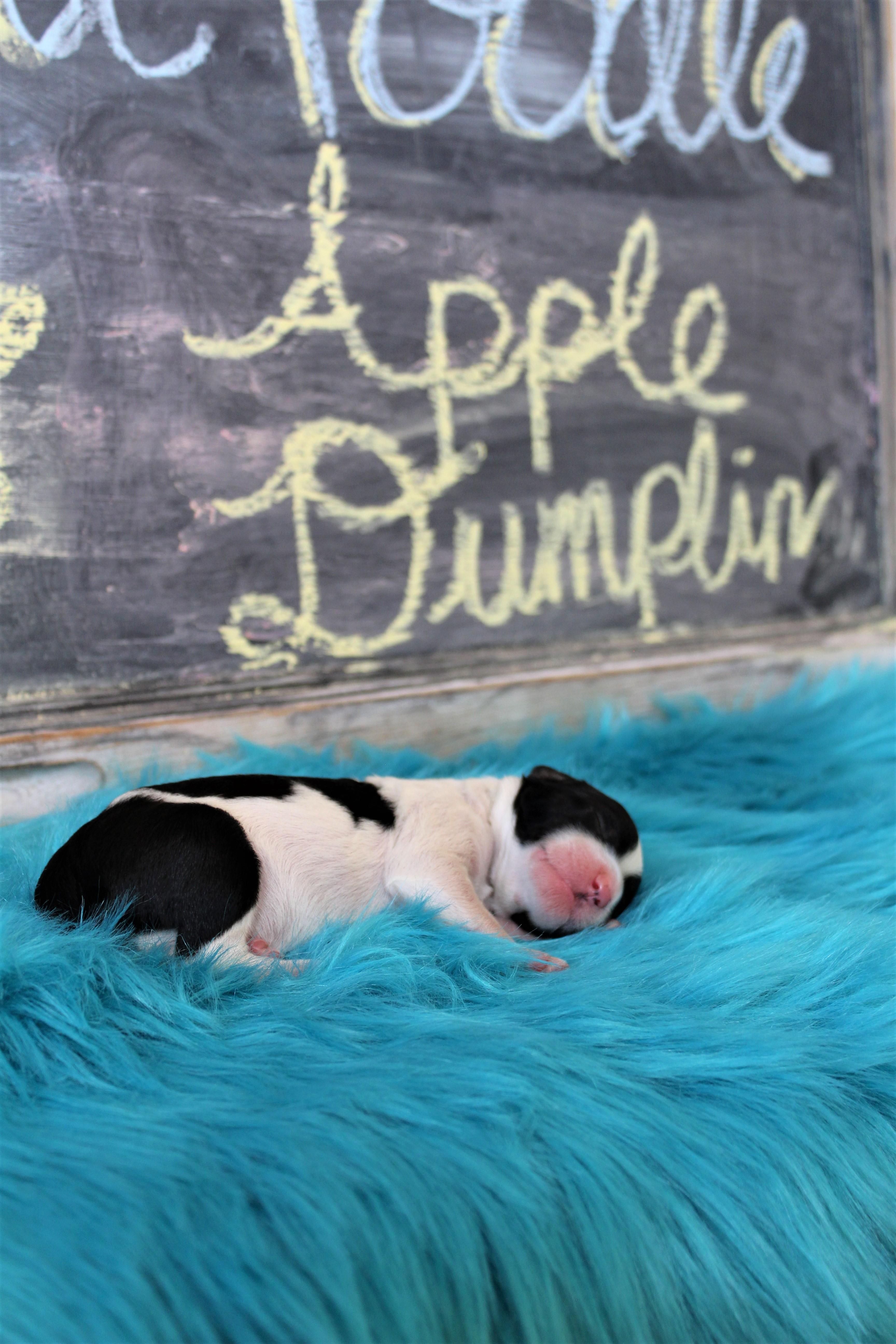 Apple Dumplin 1.3