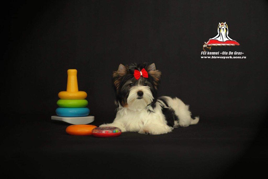 Daisy from Ola de Gras Kennels