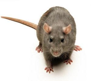 mouse-tulsa pest control