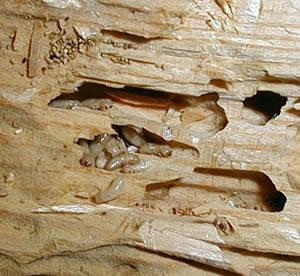 termites-in-wood