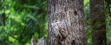 Wild owl on the tree in summer forest, Oregon, USA