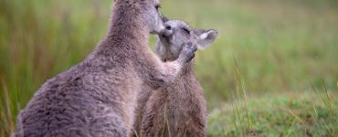 Eastern Grey kangaroo Kissing