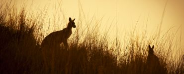 Australian Kangaroo's silhouetted at sunset in the wild