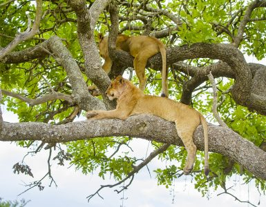 African lions sleeping in a tree a hot day in Serengeti, Tanzania. Wild lion pride.