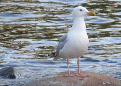 gull-lookout