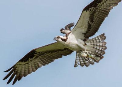 oscar-the-osprey-and-offspring