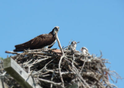 osprey-and-young