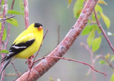 spring-songbird