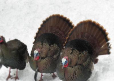 turkey-walk