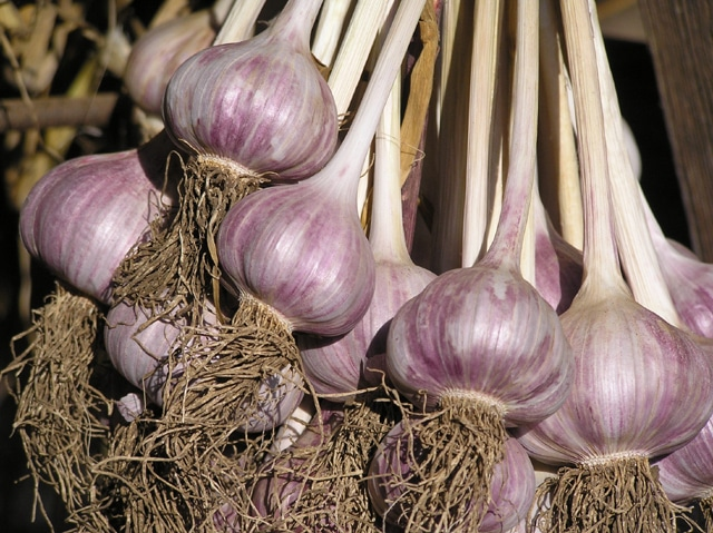 GARLIC PLANTING IN EARLY SPRING