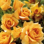June flower of the month floribunda