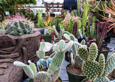 opuntia and euphorbia cactus