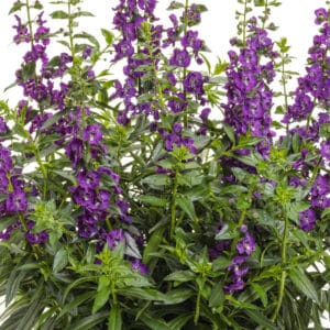 Angelface Super Blue Angelonia