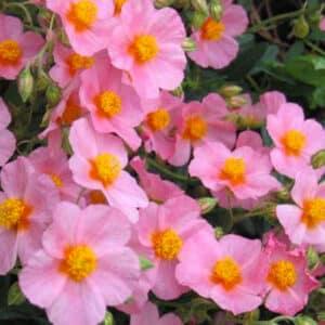 Wisley Pink Sun Rose