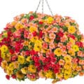 Joy Combination Hanging Basket