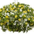 Sweet as Honey Hanging Basket Combination