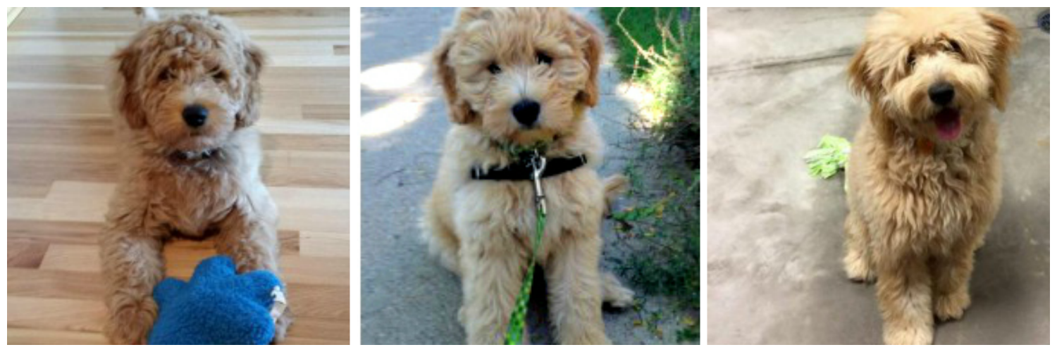 Miniature Goldendoodles raised at Doodle Dog Hill.