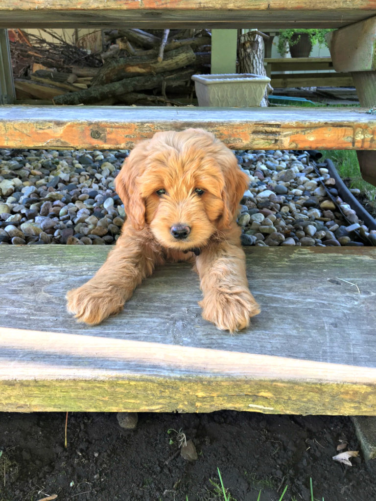 Family raised Goldendoodle, Theo