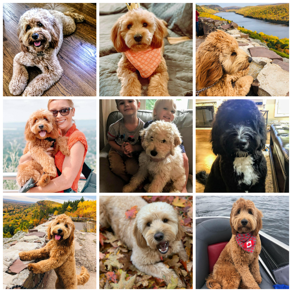 Doodle Dog Hill Puppies_6