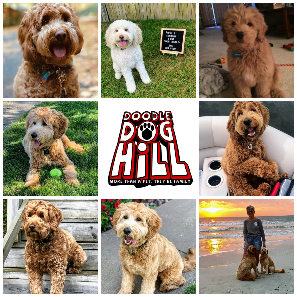 Doodle Dog Hill Puppies_7