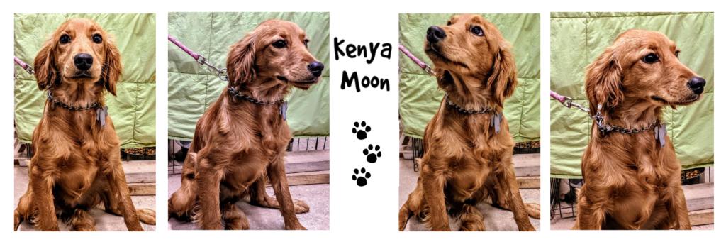 Kenya Moon, Petite Golden Retriever