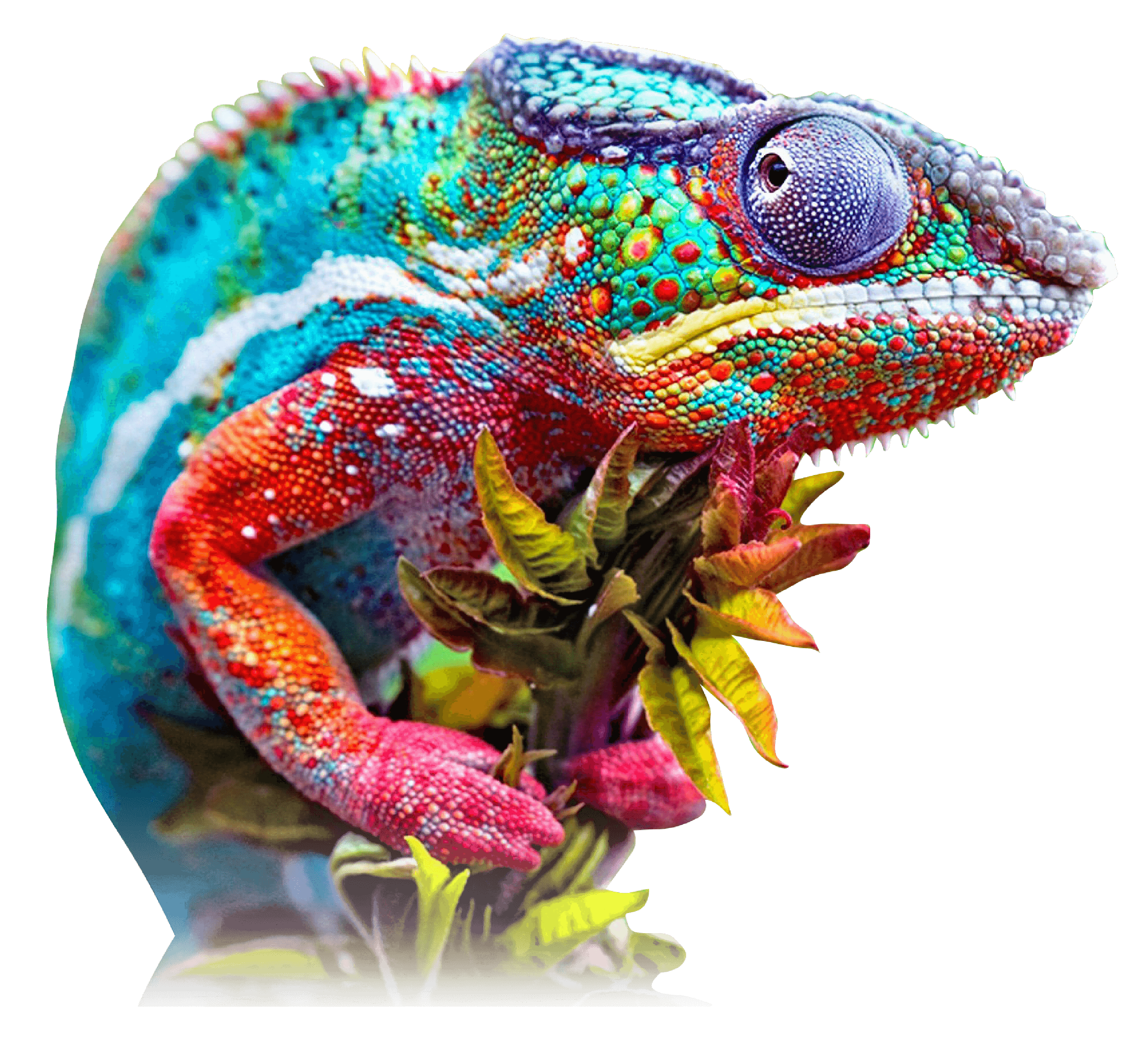kamaleon colores (1)