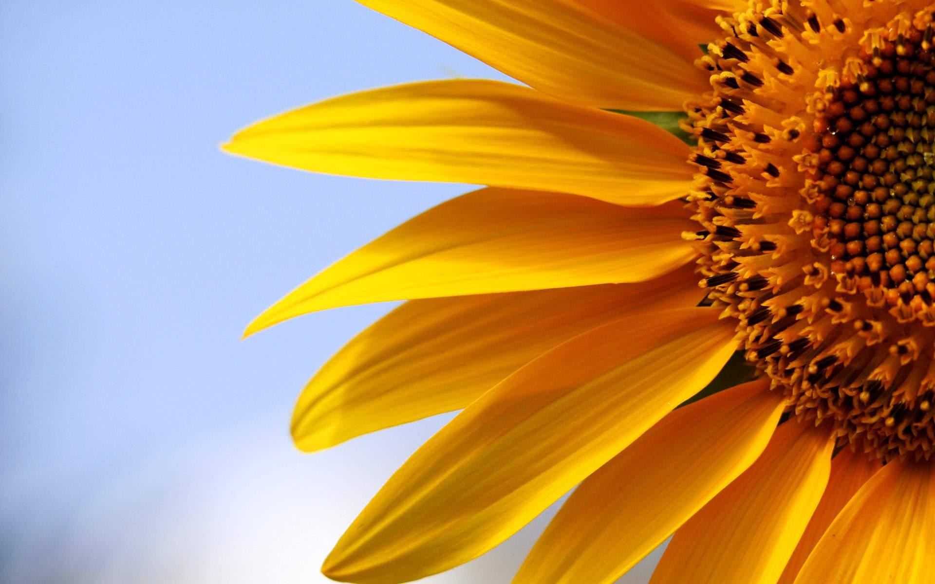 Frankfort Sunflower Festival