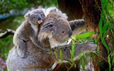 Fun Facts About Koalas