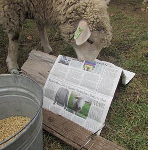 sheep reading Wall Street Journal