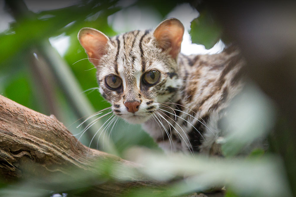 leopard-cats-1000-shaded