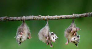 Free Again WildLife Rehabilitation: Oppossum @ The Science Center