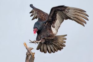 Free Again Wildlife Rehabilitation: Turkey Vulture @ The Science Center