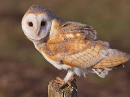 Free Again Wild Life Rehabilitation: Barn Owl @ The Science Center