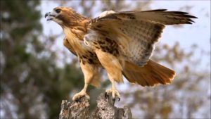 Free Again Wild Life Rehabilitation: Red Tailed Hawk @ The Science Center