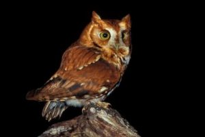 Free Again Wild Life Rehabilitation: Screech Owl @ The Science Center