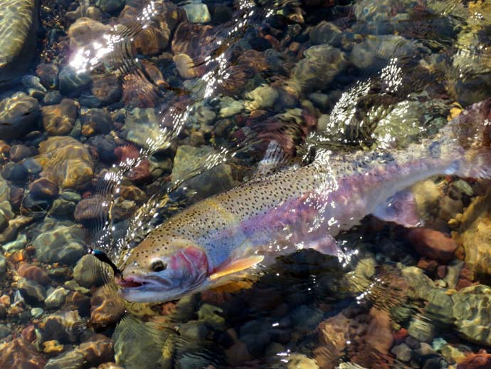 cutthroat-trout-650