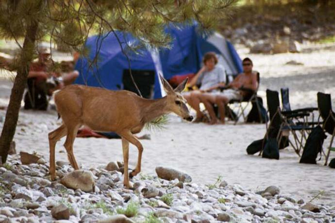 Deer Passing Through Camp