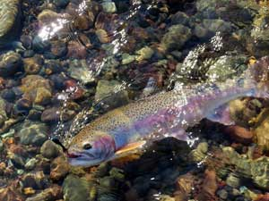 Lemhi River Trout Fishing