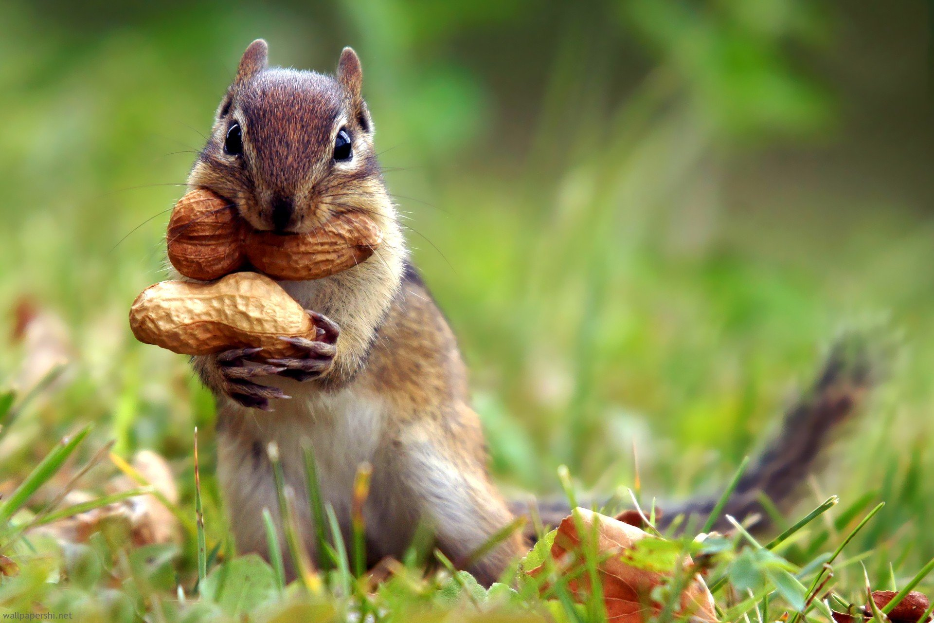 squirrel-nut
