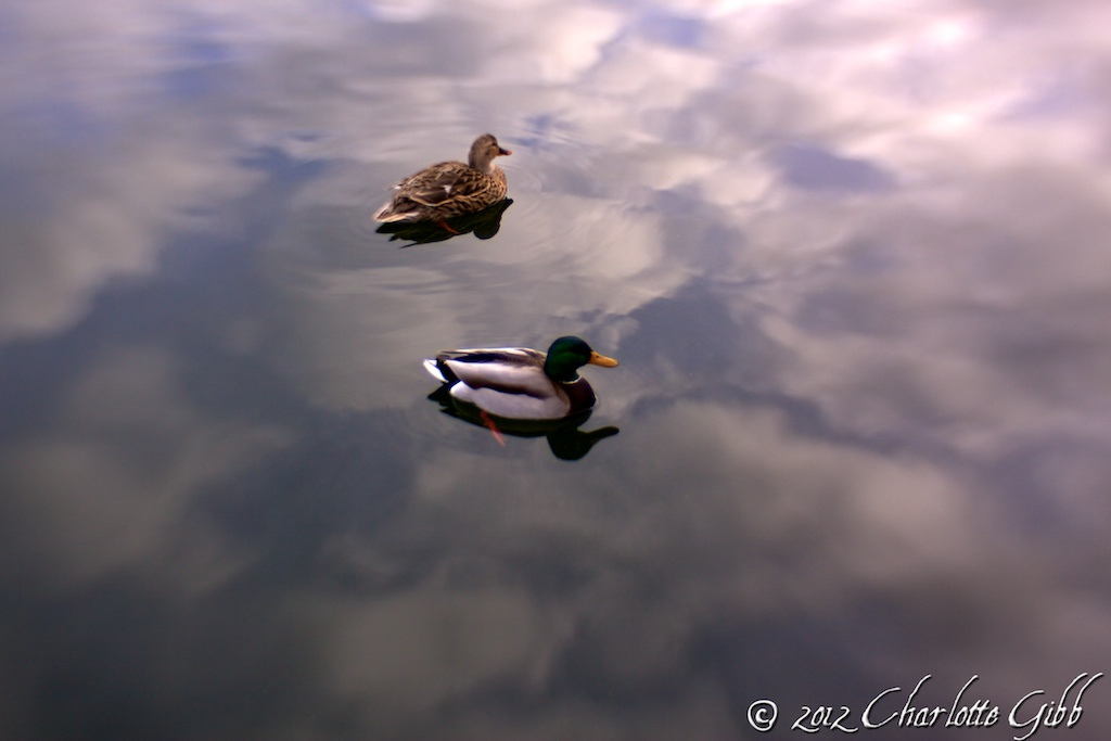 Mallards Reflected