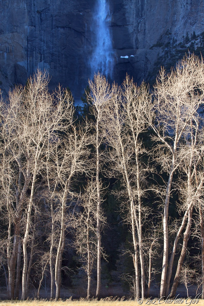 Yosemite Falls Behind Cottonwoods