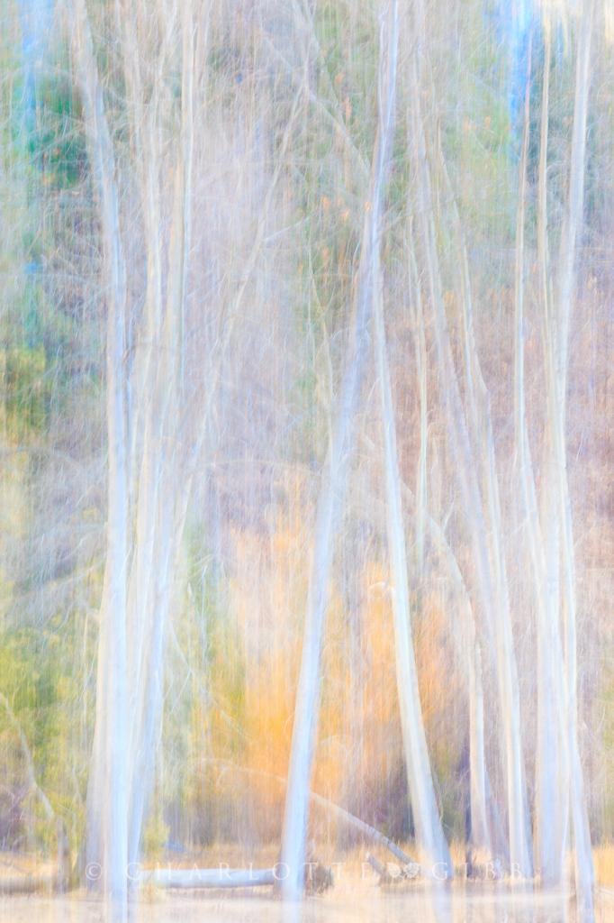 Cottonwoods in Winter Light, February 2014