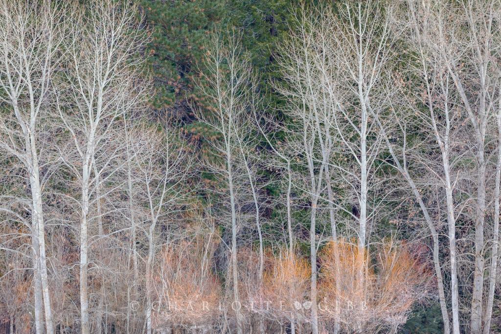 Cottonwoods In Winter