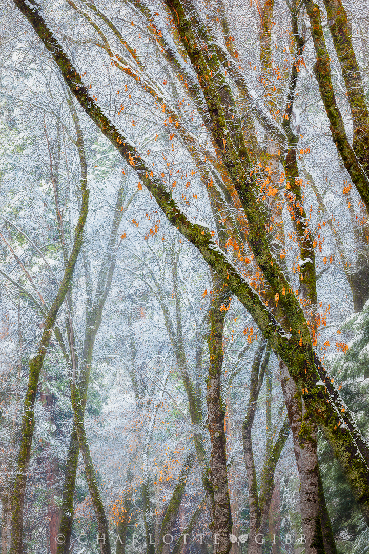 """Black Oaks and Snowy Mist"", April 8, 2015, Yosemite National Park"