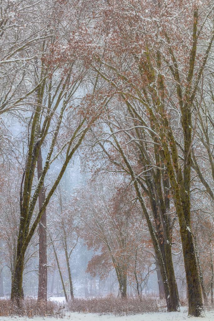 """Black Oaks in Snowstorm"", January 31, 2015, Yosemite"