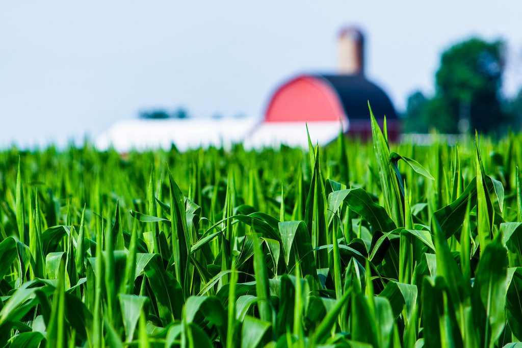 high-corn-in-front-red-barn