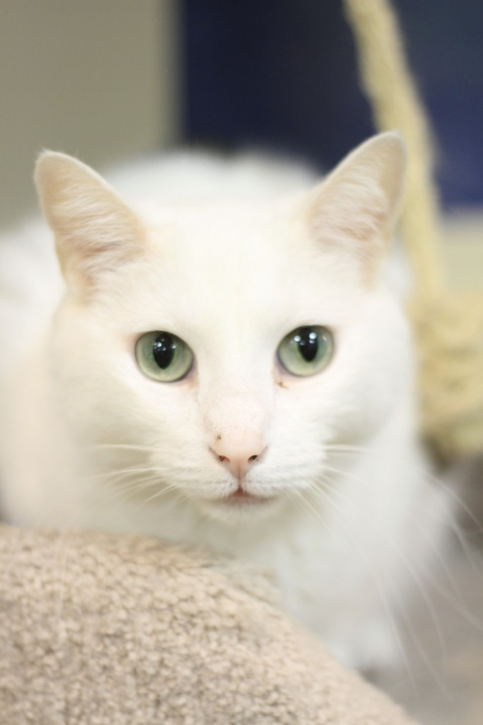 Elise, a white cat, is known for her striking green eyes. Photo: Monica Salazar